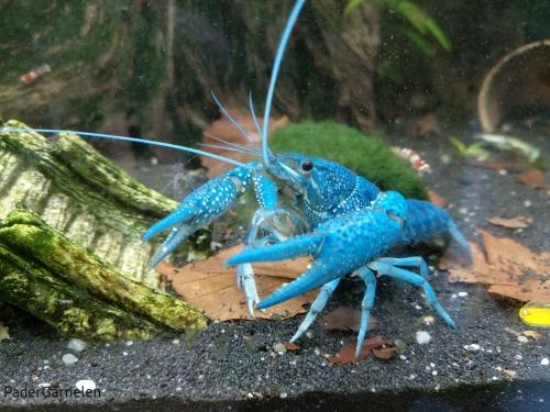 Blauer Floridakrebs Männchen